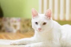 Vit katt i en liggande position Royaltyfri Fotografi