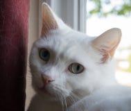 Vit katt i fönsterbräda Arkivbilder