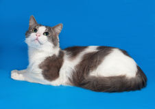 Vit katt med fläckar som ligger på blått Royaltyfria Bilder