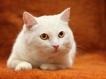 Vit katt med gula ögon fotografering för bildbyråer