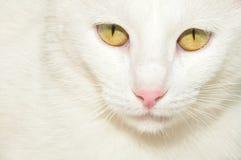 Vit katt med gula ögon arkivfoto