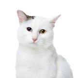 Vit katt med mångfärgade ögon som ser kameran. Royaltyfri Foto