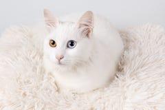 Vit katt med olika kulöra ögon Arkivfoto
