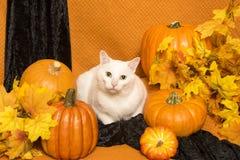 Vit katt med pumpor och Autumn Leaves Royaltyfri Bild