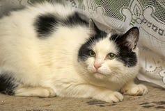 Vit katt med svarta fläckar arkivfoton