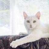 Vit katt med trevliga ögon Arkivbild
