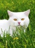 Vit katt på ett grönt gräs Arkivbilder