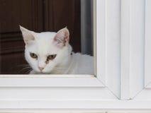 Vit katt på fönstret Arkivbilder
