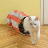Vit katt som kommer från katttunnelen Arkivfoto