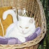 Vit katt som ligger i den vide- stolen Selektivt fokusera Arkivfoto