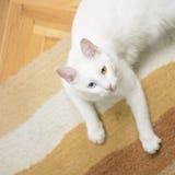 Vit katt som ligger på mattan som ser upp Arkivbild