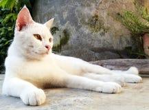 Vit katt som ner lägger royaltyfria bilder