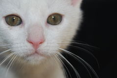Vit katt som ser rak på Royaltyfria Bilder