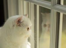 Vit katt som ser ut ur fönstret Arkivfoto