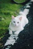 Vit katt som spelar på vägrenen Fotografering för Bildbyråer