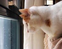 Vit katt som ut ser den regniga dagen för fönster ett Arkivfoto