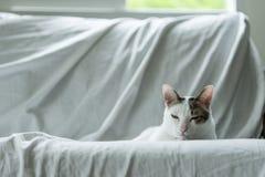 Vit kattkattunge för sömnig framsida som ligger på soffan med den vita torkduken när arkivfoton