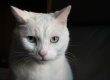 Vit kattstående Royaltyfri Foto