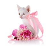 Vit kattunge med ett rosa band och en blomma av en pion Royaltyfri Foto