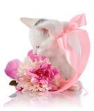 Vit kattunge med ett rosa band och en rosa blomma. Fotografering för Bildbyråer