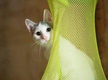 Vit kattunge med gråa fläckar som varsamt ut ser Royaltyfria Foton