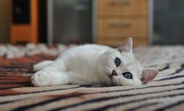 Vit kattunge som ligger på en filt Royaltyfri Bild