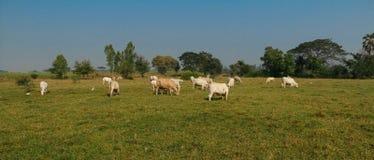Vit ko för lantgård Arkivfoton