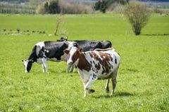 Vit ko med bruna fläckar royaltyfria foton