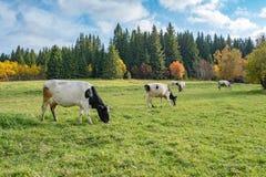 Vit ko med det svarta huvudet på en grön äng, höstskog och äng var kor arkivbilder