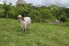Vit ko på en lantgård Arkivfoto