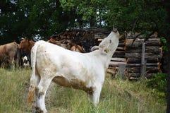 Vit ko som äter sidor från ett träd Arkivbild