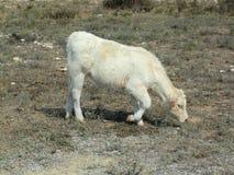 Vit ko som betar torrt gräs vid kusten arkivfoto