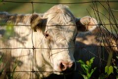 Vit ko som ser till och med trådstaketet Arkivbilder