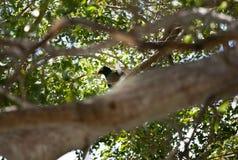 Vit krönad duva i de Florida tangenterna Arkivbilder
