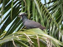 Vit krönad duva i en palmträd fotografering för bildbyråer