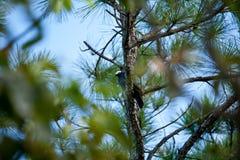 Vit krönad duva i ett sörjaträd på de Florida tangenterna Arkivbilder