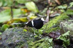 Vit-krönad Forktail Enicurus leschenaulti Royaltyfri Fotografi