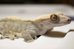 Vit krönad gecko Royaltyfri Fotografi