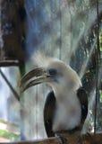 Vit-krönad hornbill Arkivfoto