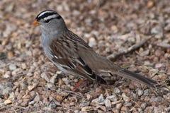 Vit krönad Sparrow Royaltyfri Bild