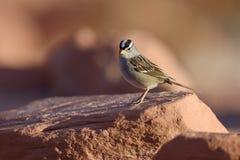 Vit krönad Sparrow Royaltyfria Foton