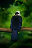 Vit-krönad Turaco, Turacoleucolophus, sällsynt färgad grön fågel med det vita huvudet, i naturlivsmiljö Turacosammanträde på bran Royaltyfri Fotografi