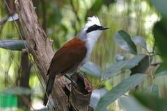 Vit-krönade härliga fåglar för Laughingthrush Garrulax leucolophus av Thailand Royaltyfri Foto