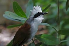 Vit-krönade härliga fåglar för Laughingthrush Garrulax leucolophus av Thailand Arkivbild
