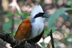 Vit-krönade härliga fåglar för Laughingthrush Garrulax leucolophus av Thailand Royaltyfri Bild