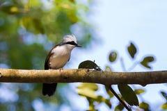 Vit krönade laughingthrushfågeln med den vita huven, lyftt vapen, Royaltyfri Fotografi