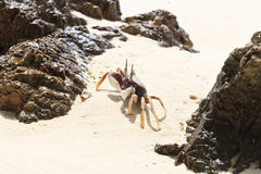 Vit krabba på stranden Royaltyfria Foton