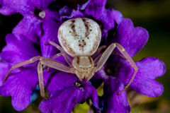 Vit krabbaspindel på en purpurfärgad blomma. Arkivfoton