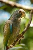 Vit krönad papegoja Royaltyfri Fotografi