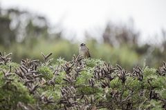 Vit-krönad sparv & x28; Zonotrichialeucophrys& x29; Royaltyfria Bilder